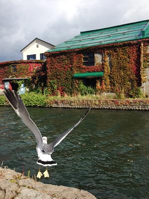 小樽運河とウミネコ